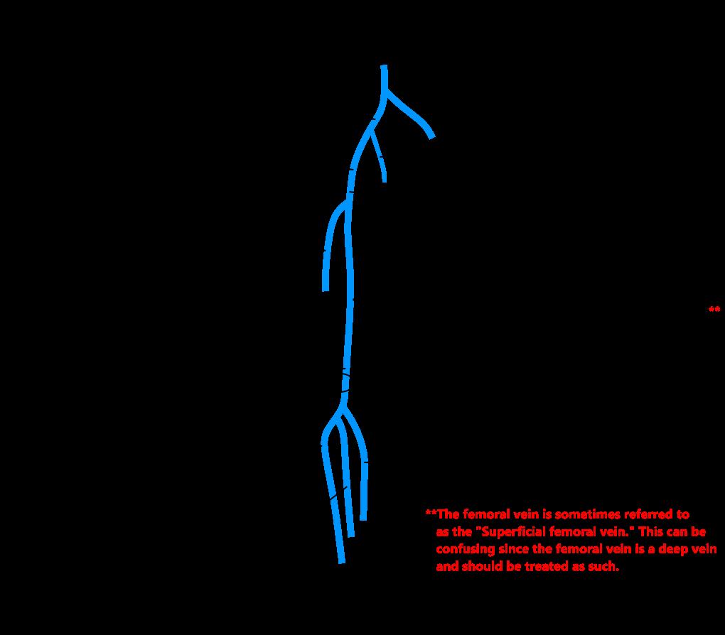 Anatomy of veins in leg