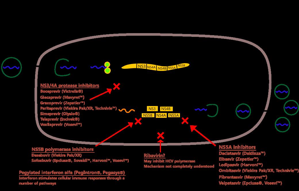 Mechanism Of Action Of Hepatitis C Drugs
