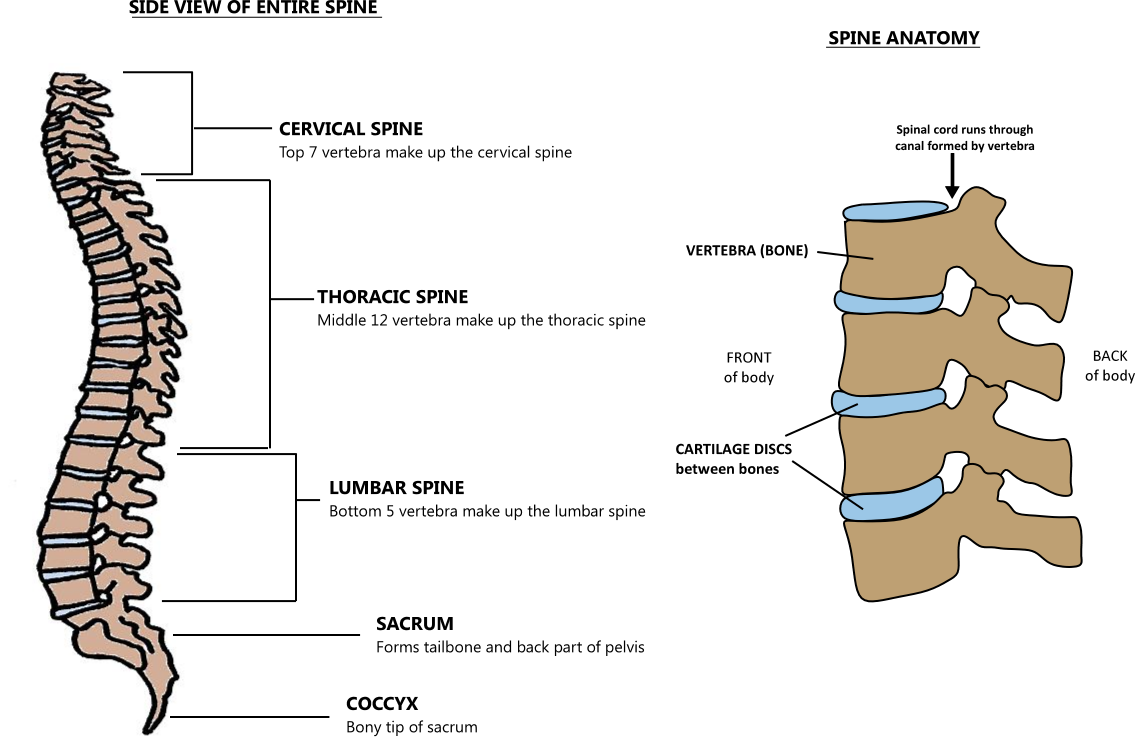 spine overview
